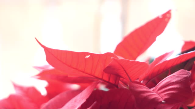 tracking shot on a poinsettia plant video