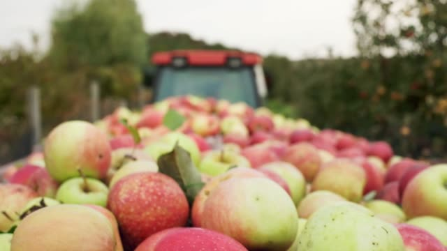 tractor carries ripe fruit. - succoso video stock e b–roll
