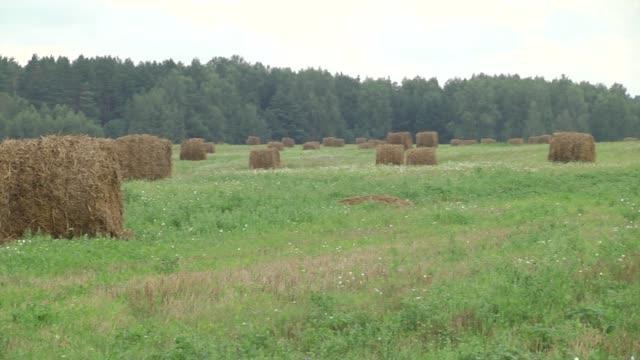 vidéos et rushes de tracteur recueillant des balles de paille pendant la récolte dans le domaine à la belle journée ensoleillée bleue. collecte de paille après récolte de blé. chargement de balles de paille sur la remorque. balles de paille conduites par tracteur sur l - foin