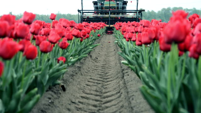 tractor Topping  tulip bulbs video