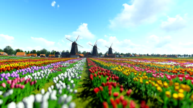 Traditional Dutch windmills with vibrant tulips in the foreground over blue sky, panning video
