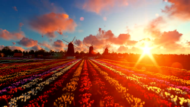 Traditional Dutch windmills with vibrant tulips in the foreground over sunset, tilt