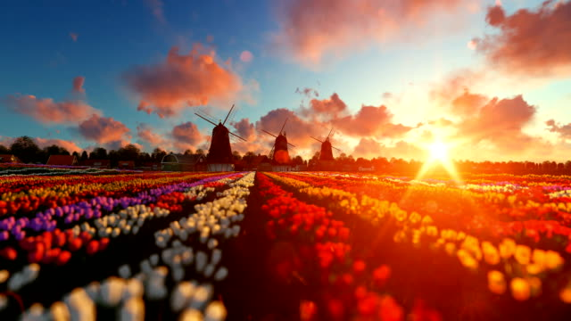 traditional dutch windmills with vibrant tulips in the foreground over sunset, panning - amsterdam video stock e b–roll