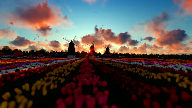 Traditional Dutch windmills with vibrant tulips in the foreground, timelapse sunrise video
