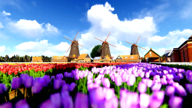 Traditional Dutch Windmills With Vibrant Tulips In The Foreground Over Blue Sky video