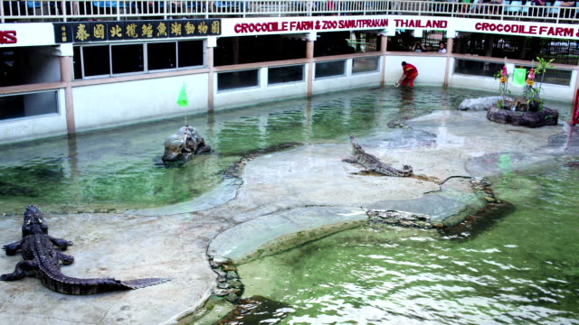 "samutprakarn - november 12: traditional for thailand ""show of crocodiles with trainer"", timelapse on november 12, 2012 in crocodile farm samutprakarn, thailand - wrestling stock videos and b-roll footage"
