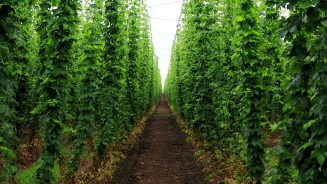 vídeos y material grabado en eventos de stock de cultivo de lúpulo tradicional para la producción de la famosa cerveza alemana - ingrediente