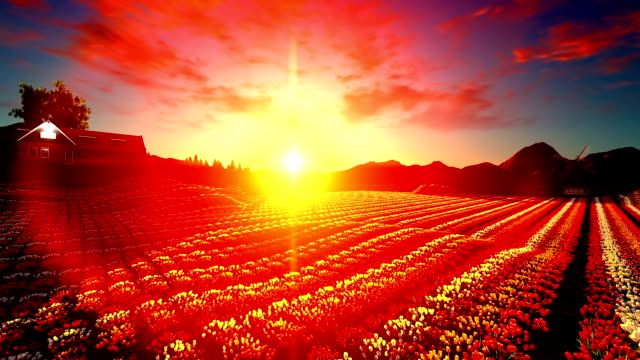 Traditional Windmill With Blossoming Tulip Fields At Sunset video
