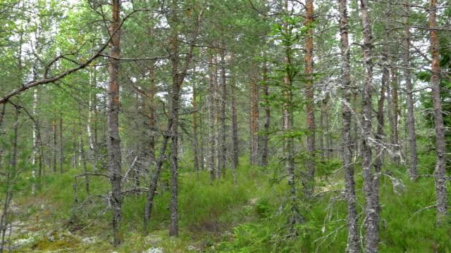 spår av pinjeträd i den skogen av estland gh4 4k uhd - fur bildbanksvideor och videomaterial från bakom kulisserna