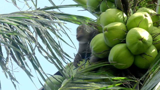 обученный обезьян для раскрытия кокосы - кокос стоковые видео и кадры b-roll
