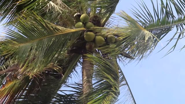 trained monkey picking coconuts down from palm tree in thailand - briglia video stock e b–roll