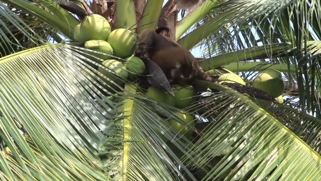 trained monkey picking coconuts down from palm tree in thailand - кокос стоковые видео и кадры b-roll
