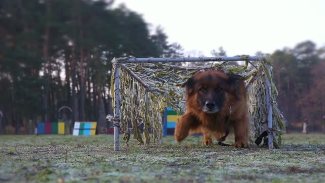 Training dogs in the army on an obstacle course video