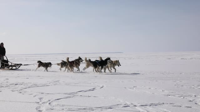 Training sled dogs on a frozen bay in winter