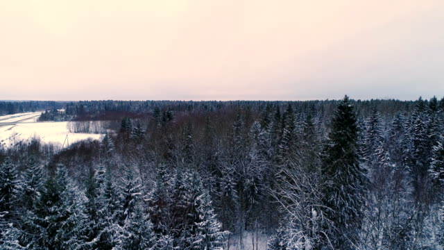 Trall spruce trees in the forest filled with snow video