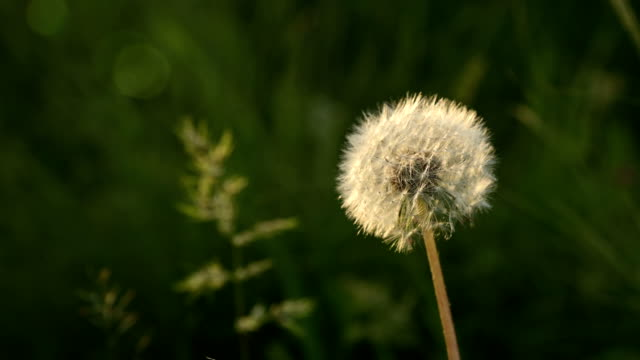 Transparent dandelion seed head at sunset in green grass close-up with highlights from the sun