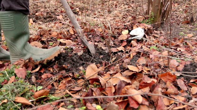 Transplanting new scion with roots from parent fruit tree video