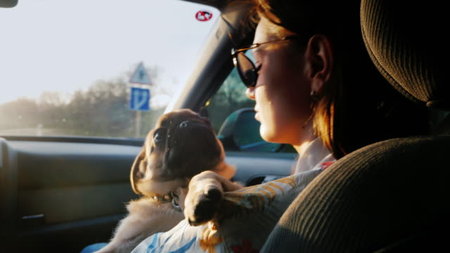 travel with your favorite dog - a pug. a woman on a passenger seat is driving in a car, in her arms a puppy - montare video stock e b–roll