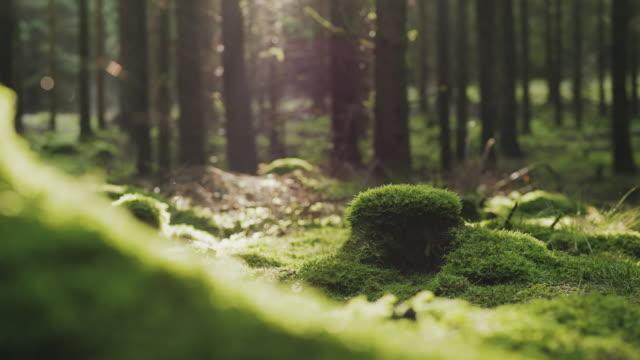 traveling man vandring genom en tallskog på en höst dag - torv bildbanksvideor och videomaterial från bakom kulisserna