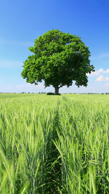 tree and wheat field - vertical format video stock videos and b-roll footage