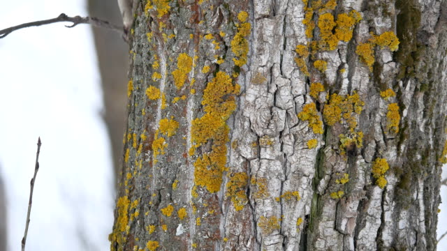 tree bark texture with yellow moss tree trunk the nature outdoors landscape - vídeo