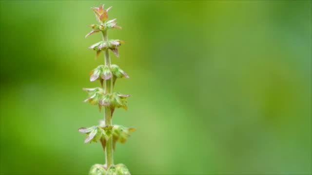 Tree basil flower