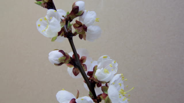 Tree Branch blooming