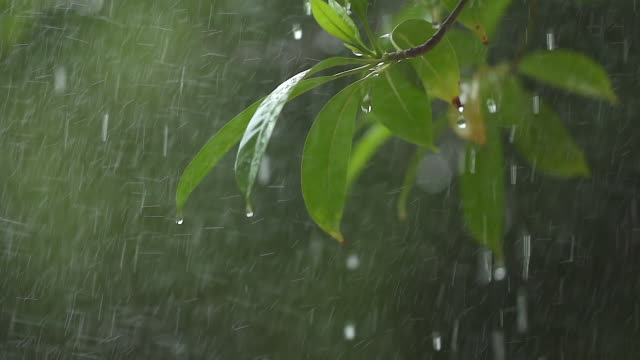 A tree branch with flowers in the rain shooting with a slow motion camera.
