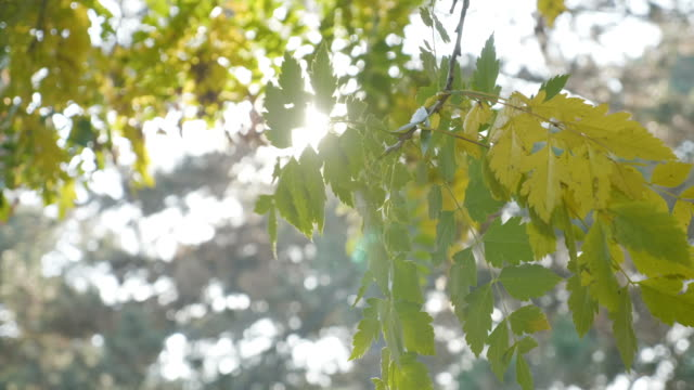 Tree branch with yellow leaves blown by the wind and sun shining over it on an autumn day video