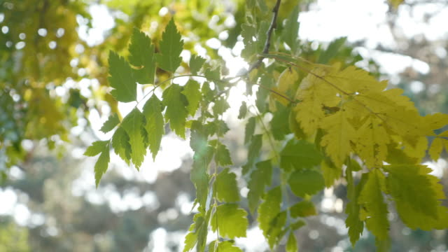 Tree branch with yellow leaves swaying in the wind and rays of sun shining on it on a autumn morning video