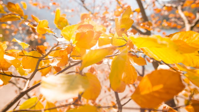 vídeos de stock e filmes b-roll de tree branches with colorful leaves dancing in the wind in autumn - folha vermelha