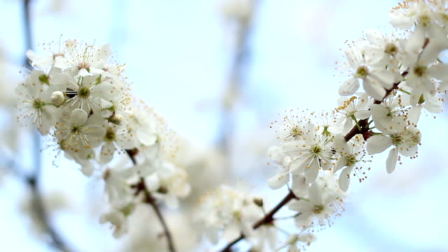 Tree branches with flowers in spring. Two branches of blooming cherry tree video