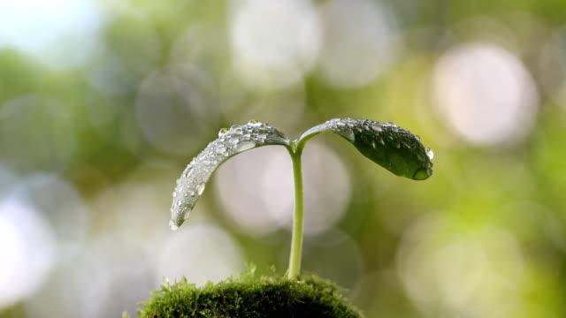 木の芽と水滴 - 苗点の映像素材/bロール