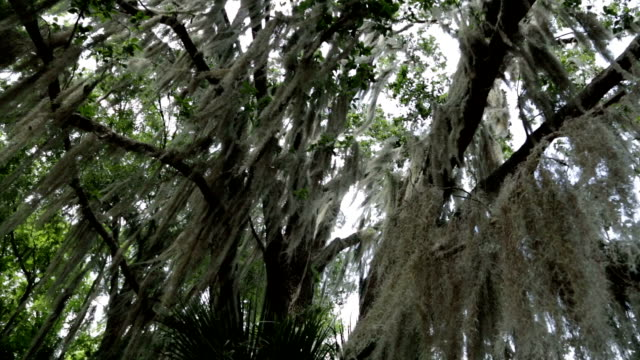 Repletos de musgo pendurado em árvore - vídeo