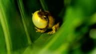 istock Tree Frog, Costa Rica 1212081898