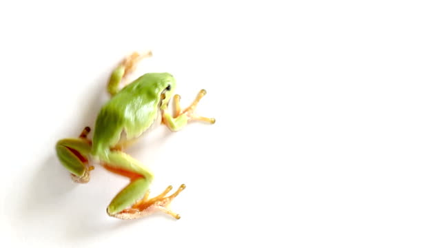 Tree Frog Crawling and Jumping Away from the Screen An italian tree frog Crawling and Jumping Away from the white background frog stock videos & royalty-free footage