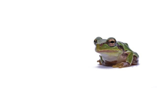 Tree frog. Japanese tree frog.