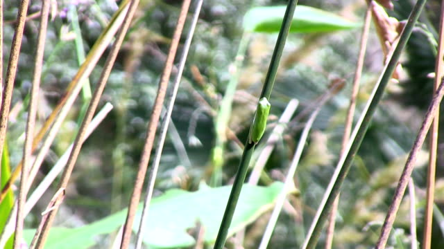 Tree frog on reed video