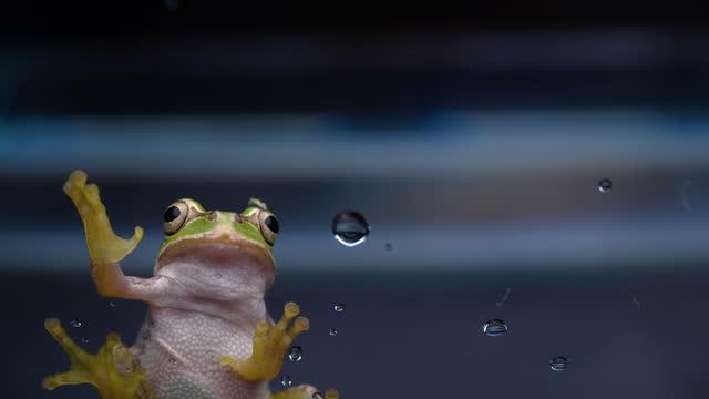 żaba drzewna - płaz filmów i materiałów b-roll