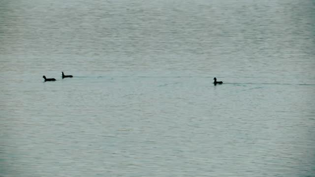 tree grebe birds swimming - svasso video stock e b–roll