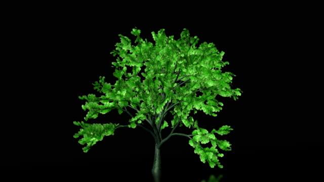 crescita arborea time-lapse con leafs cadono, alfa incluso - un singolo oggetto video stock e b–roll