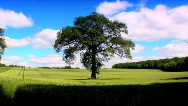 Tree in a wheat field video