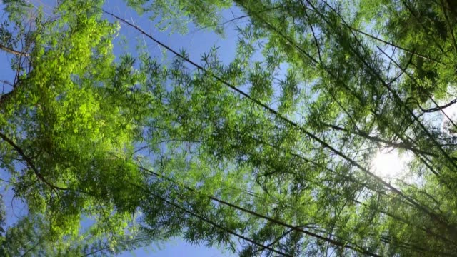 tree in forest looking up with blue sky
