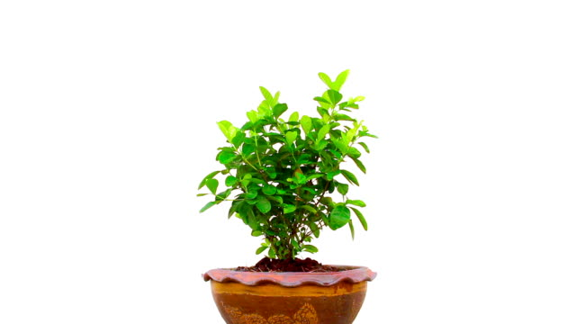 tree in pot on isolated tree in pot on isolated potted plant stock videos & royalty-free footage