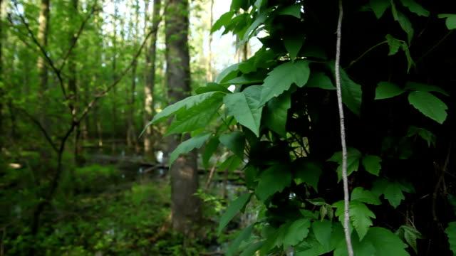 Tree in Swamp video