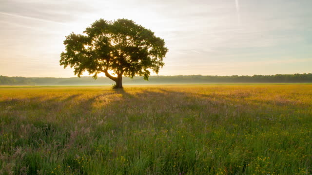 t/l tree in the meadow at sunrise - 一棵樹 個影片檔及 b 捲影像