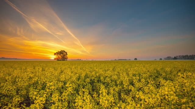 t/l tree in the middle of canola field - colza video stock e b–roll