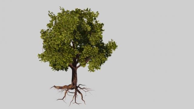 vidéos et rushes de arbre dans le vent, arbre avec des racines planant sur le fond blanc - racine partie d'une plante
