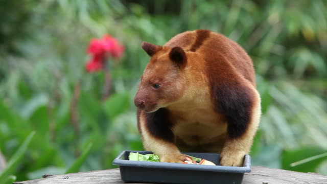 Tree Kangaroo video