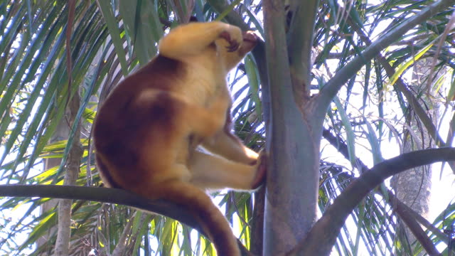 tree kangaroo - däggdjur bildbanksvideor och videomaterial från bakom kulisserna
